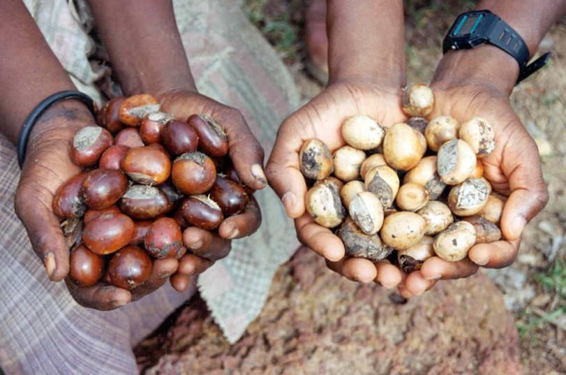 Cây Shea được trồng nhiều nhất ở châu Phi