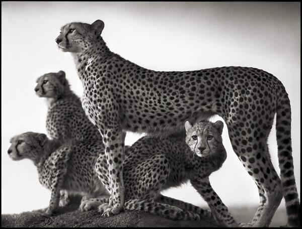 Báo đốm và con, Maasai Mara, 2003