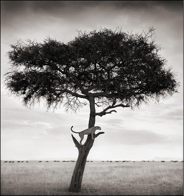 Báo đốm trên cây, Maasai Mara, 2003 © Nick Brandt