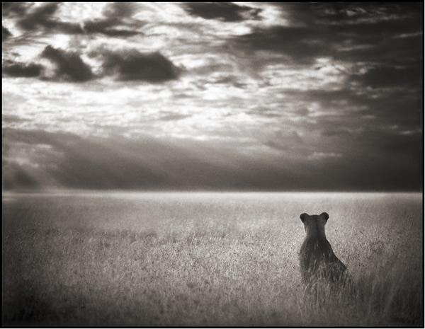 Sư tử cái nơi đồng bằng, Maasai Mara, 2004, © Nick Brandt