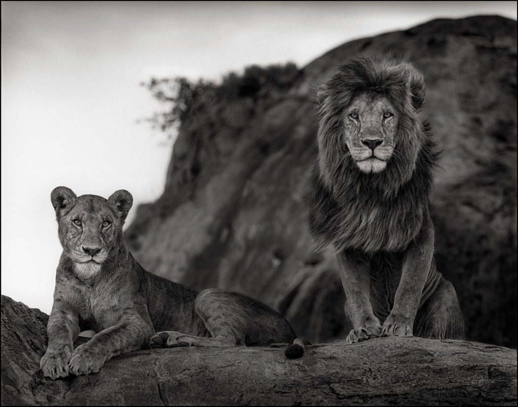 Đôi sư tử, Serengeti 2010 © Nick Brandt