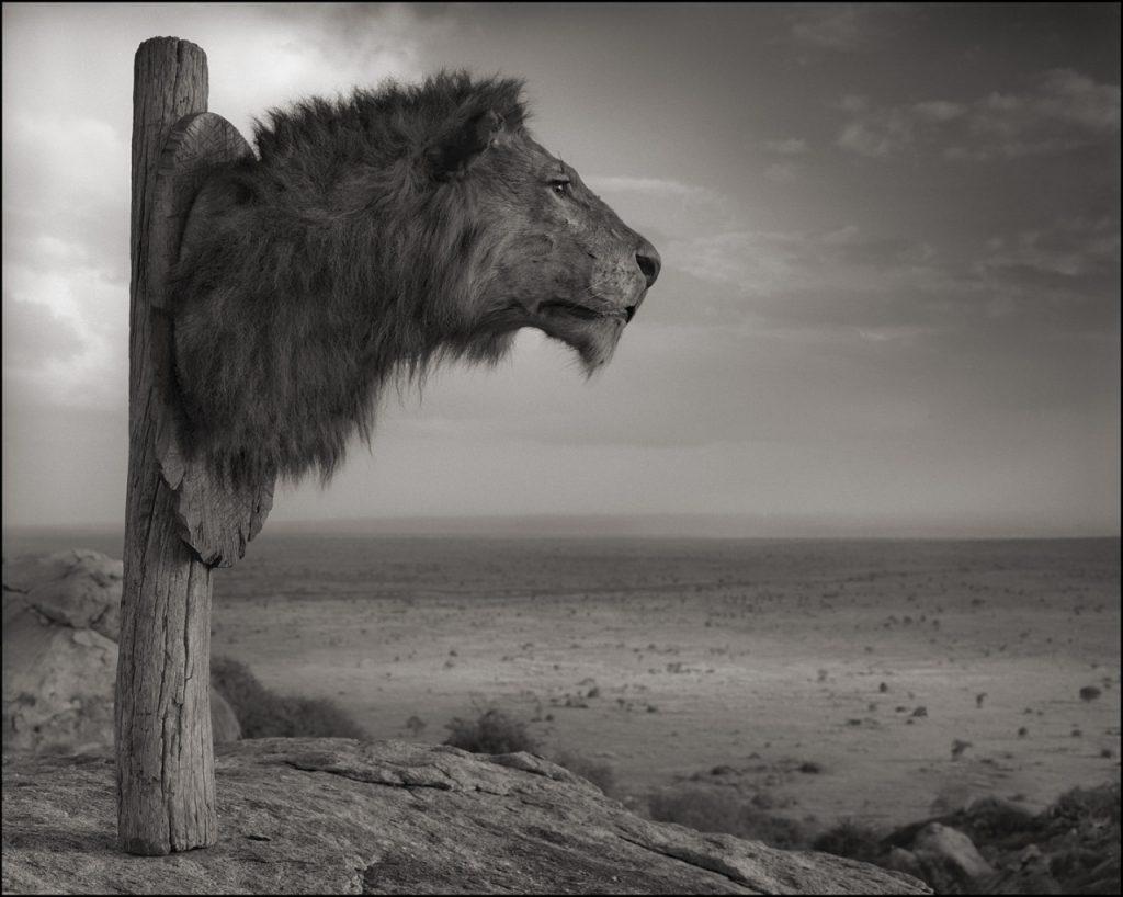 Chiến lợi phẩm đầu sư tử, Đồi Chyulu, 2012 © Nick Brandt