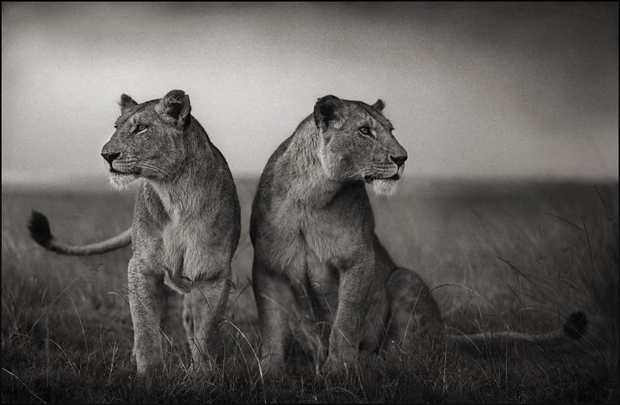 Sư tử cái chuẩn bị săn mồi, Masai Mara, 2008 © Nick Brandt
