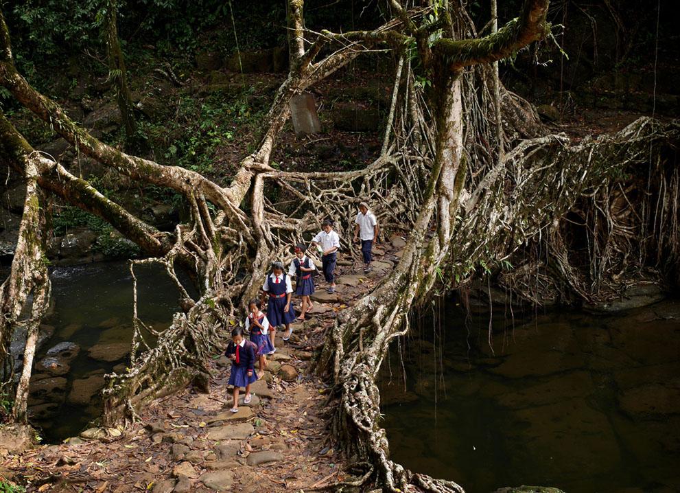 Các em học sinh vẫn đi học như này mỗi sáng. Ở một nơi có độ ẩm khủng khiếp như trong rừng, gỗ là thứ bị mục ruỗng nhanh nhất và trở nên không thích hợp để làm cầu. Thay vào đó người Khasi đã dùng rễ cây cao su từ hàng trăm năm nay để xây cầu.