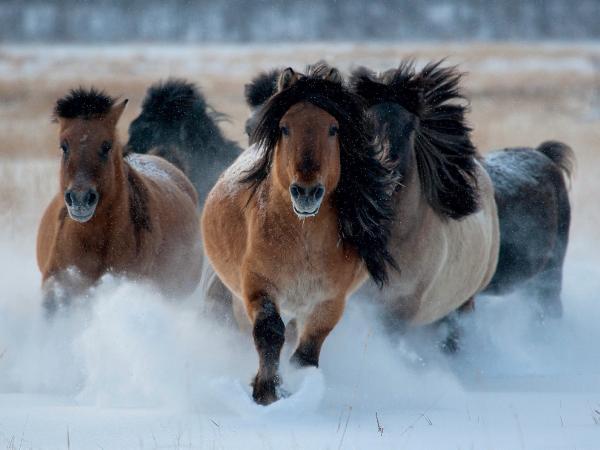Với lớp lông dày và dài, da co giãn tốt cùng một lớp mỡ dày, loài ngựa Yakut là một trong những loài động vật chịu lạnh giỏi nhất thế giới. Loài ngựa này có thể sống và kiếm ăn ngoài trời lạnh âm 50 độ C quanh năm mà không cần hơi ấm từ lửa hay chăn.