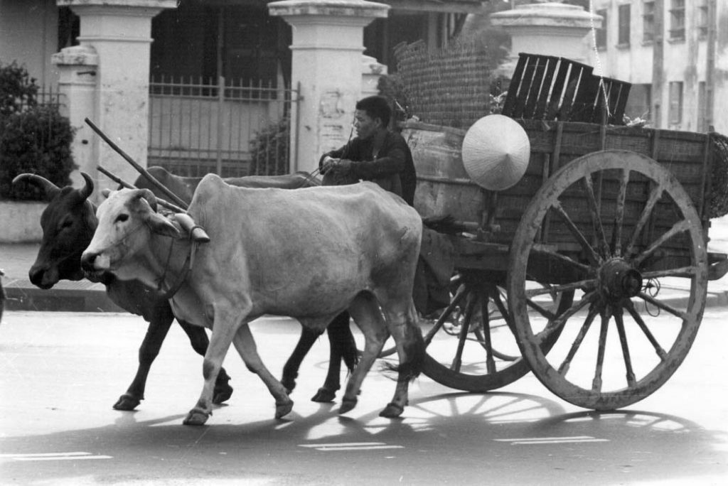Cattle pulling a manned cart down a Saigon street Xe thu gom rác. VA037837 Lee Baker Collection
